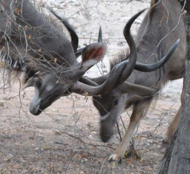 kudu-sparring-1-wildmoz.com