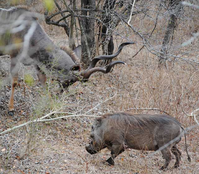 kudu-and-warthog-wildmoz.com