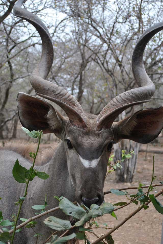 kudu-eating-1-wildmoz.com
