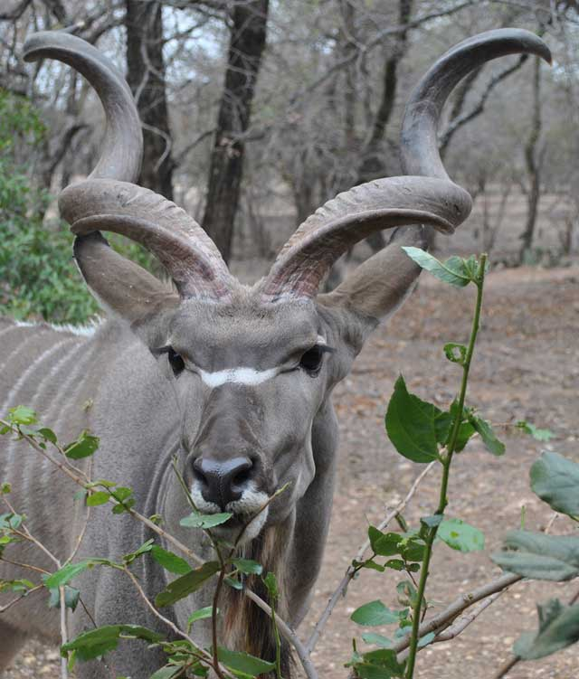 kudu-eating-2-wildmoz.com