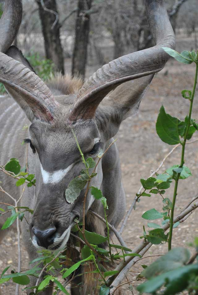 kudu-eating-3-wildmoz.com