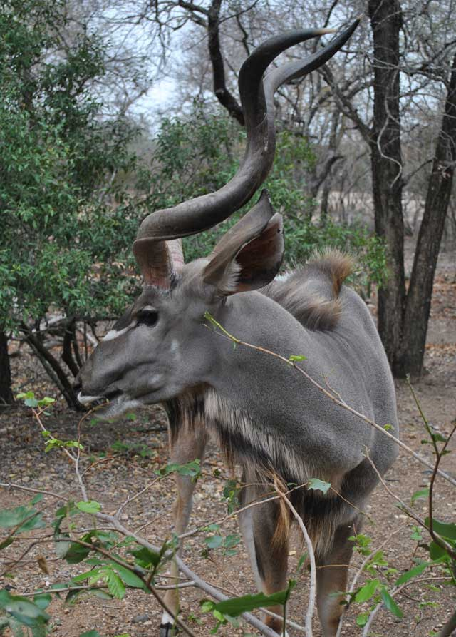 kudu-eating-4-wildmoz.com