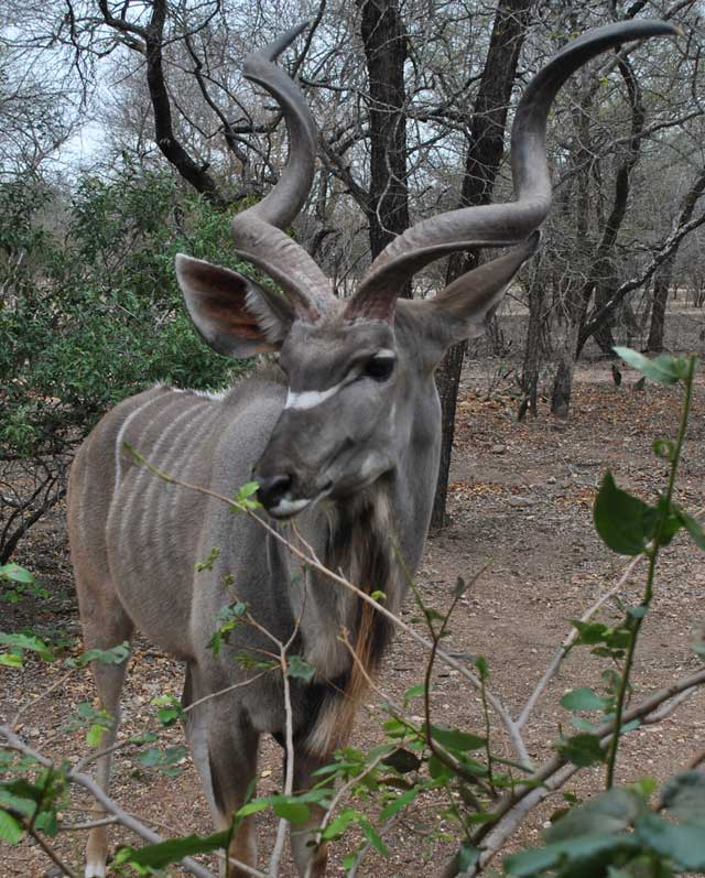 kudu-eating-5-wildmoz.com