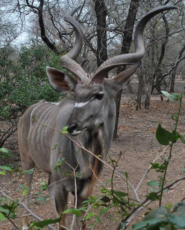 kudu-eating-5-wildmoz.com