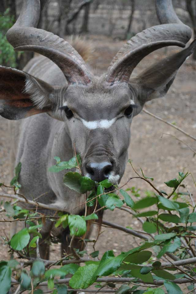 kudu-eating-6-wildmoz.com