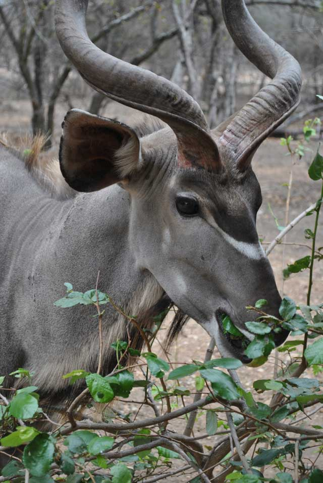 kudu-eating-7-wildmoz.com