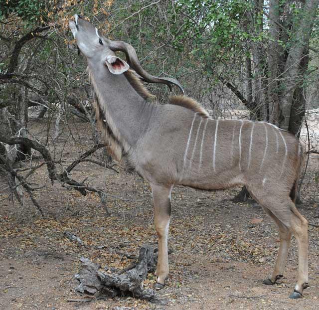 kudu-eating-chips-wildmoz.com