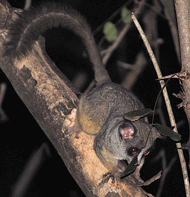 lesser-bushbaby-tree-wildmoz.com