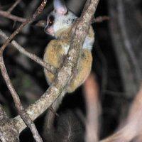 Greater, Lesser Bushbabies