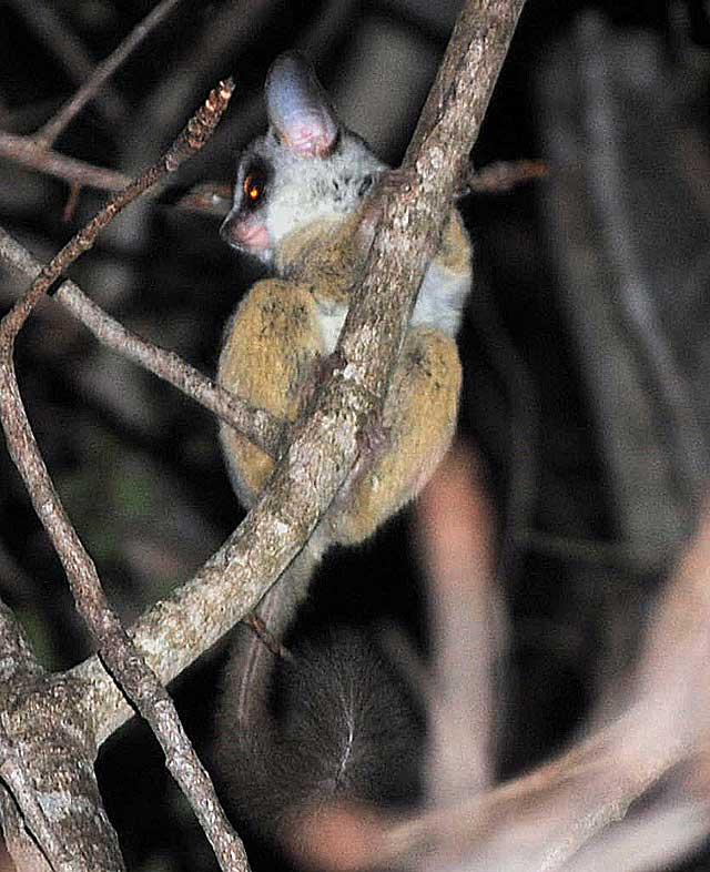 lesser-bushbaby-branch-wildmoz.com