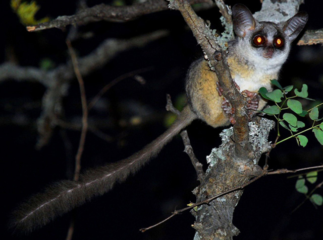 lesser-bushbaby-thorn-tree-wildmoz.com