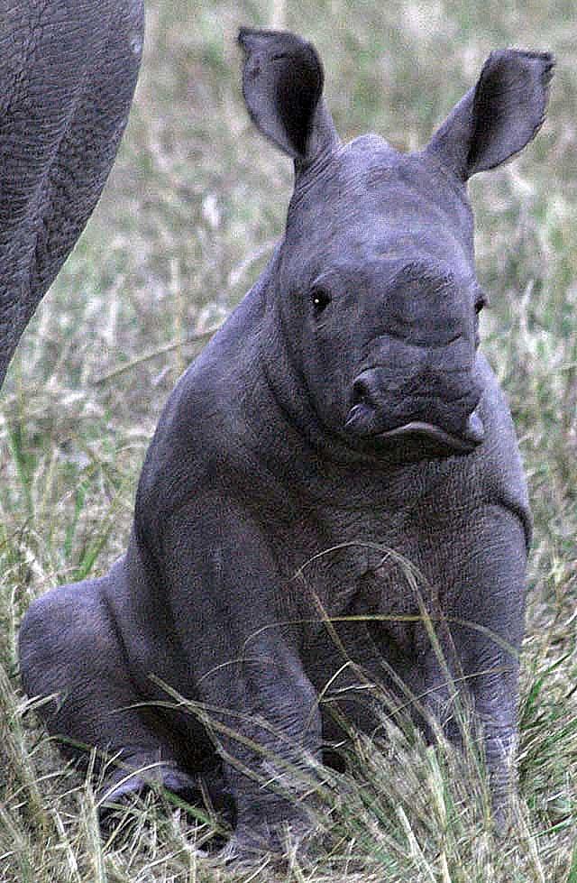 Baby-white-rhino-sitting