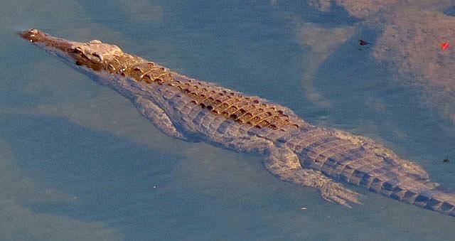 crocodile-swimming-wildmoz.com