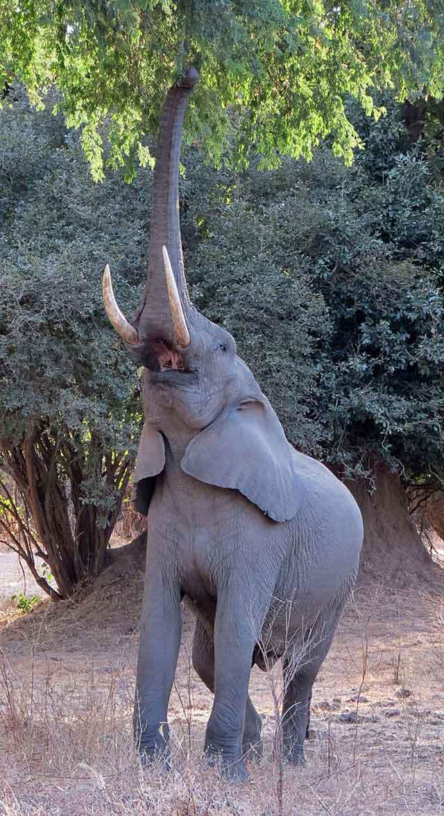 elephant-eating-fruit-wildmoz.com