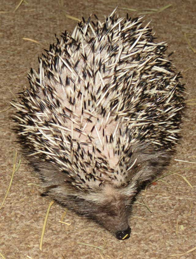 African-hedgehog-wildmoz.com