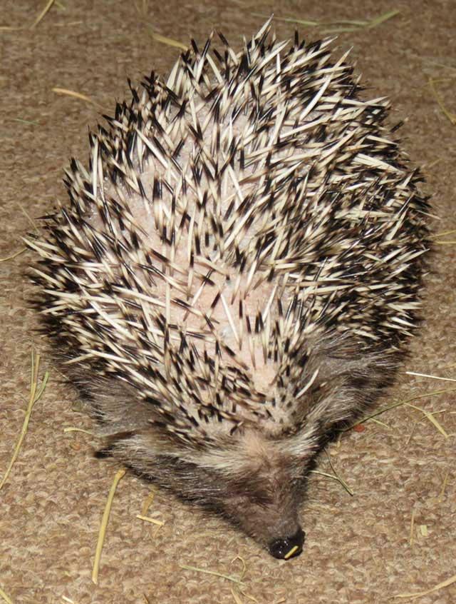 African-hedgehog-wildmoz.com