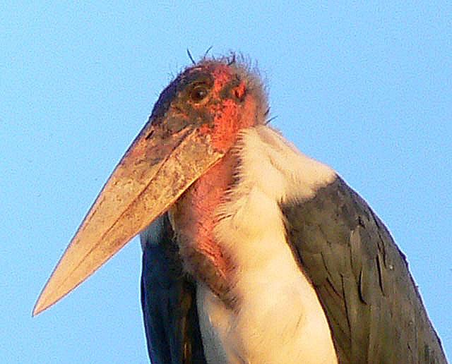maribou-stork-wildmoz.com