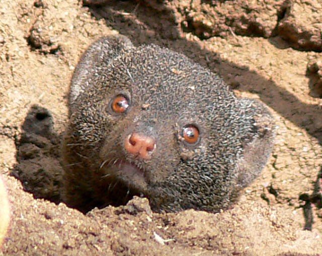 pigmy-mongoose-wildmoz.com