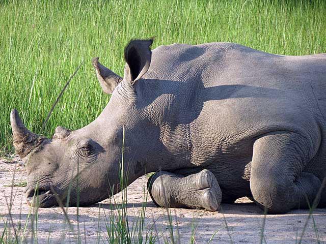 white-rhino-resting-wildmoz.com