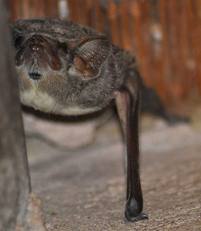 Mauritian-tomb-bat-keeping-watch-wildmoz.com