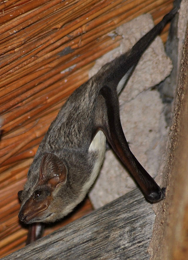 Mauritian-tomb-bat-looking-out-wildmoz.com