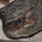 Mauritian Tomb Bat