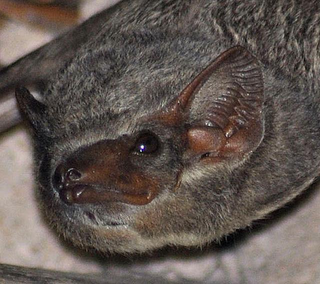 Mauritian-tomb-bat-roosting-wildmoz.com