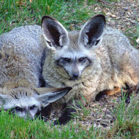African Bat-eared Fox