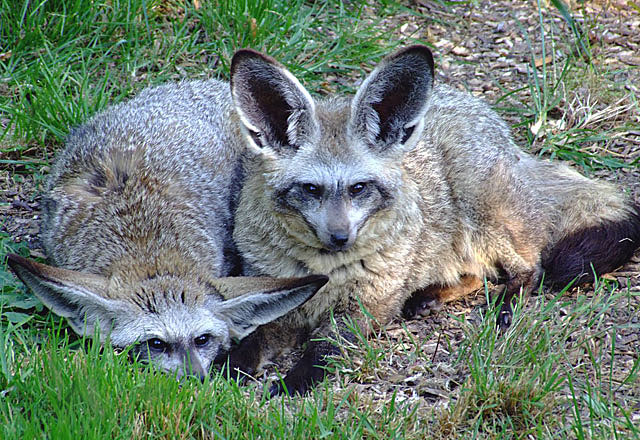 bat-eared-fox-pair-wildmoz.com
