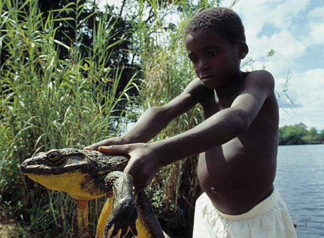 african-goliath-frog-wildmoz.com
