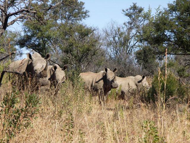white-rhino-south-africa-wildmoz.com