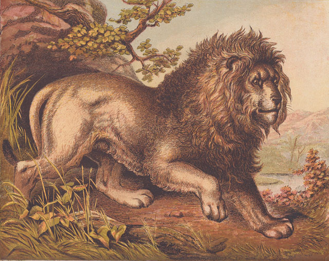 African-lion-color-art-print-wildmoz.com