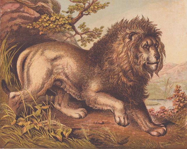 African-lion-color-art-print-wildmoz.com