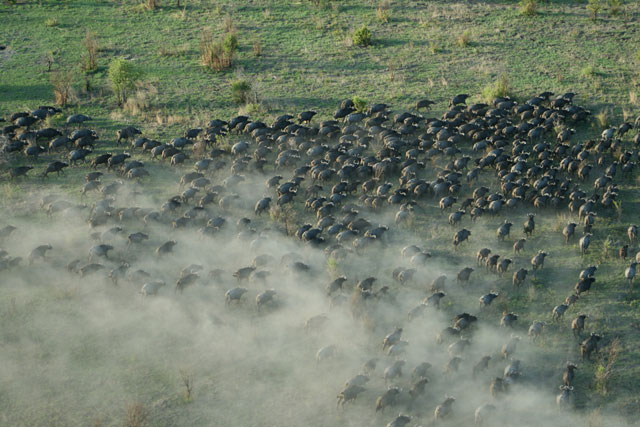 buffalo-on-the-move-wildmoz.com