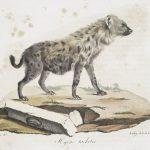 Hyena, Lion and Squirrel