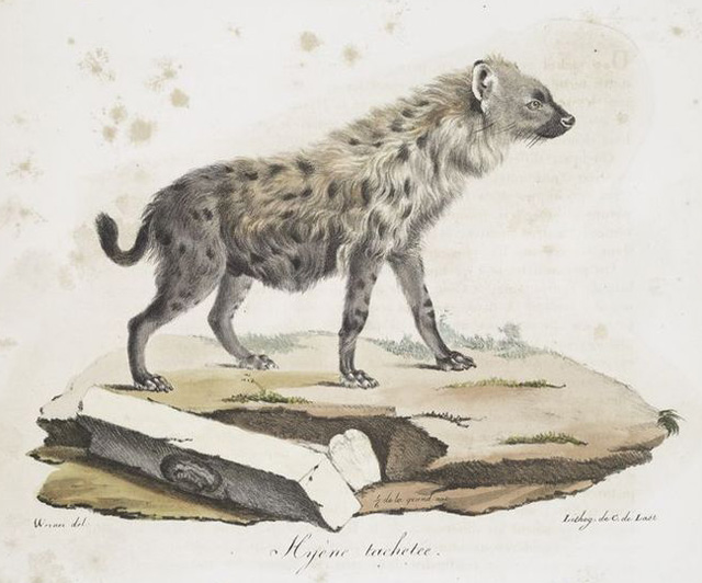 spotted-hyena-classic-print-wildmoz.com