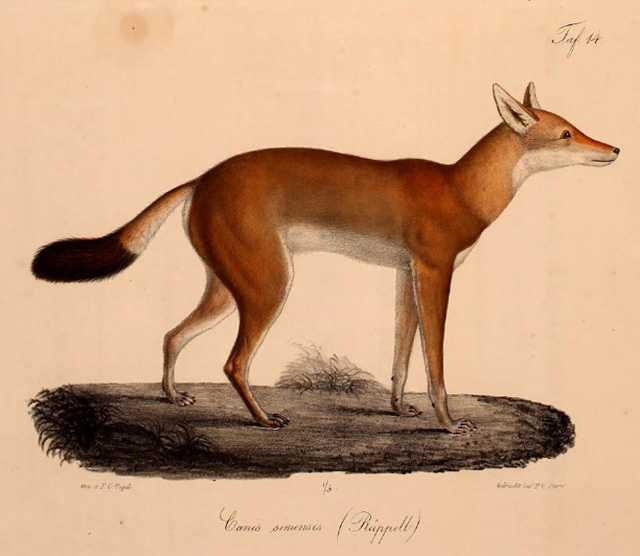 Ethiopian-wolf-engraving-1835-wildmoz.com