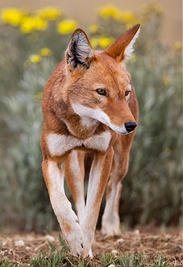 Ethiopian-wolf-hunting-wildmoz.com