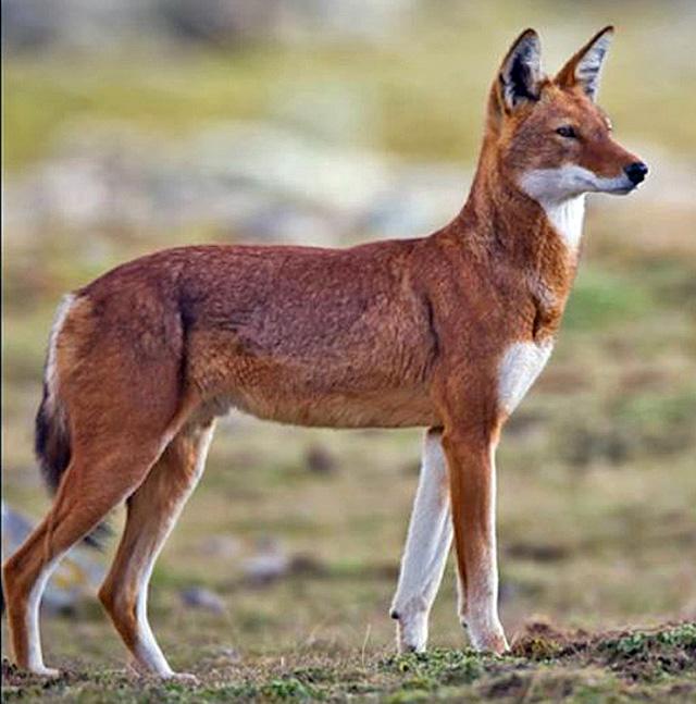 Ethiopian-wolf-male-wildmoz.com