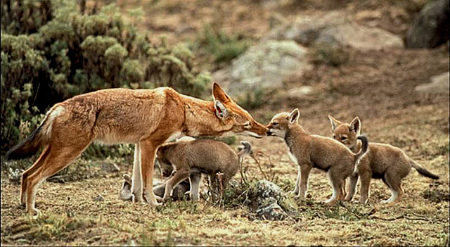 Ethiopian-wolf-mother-and-pups-wildmoz.com