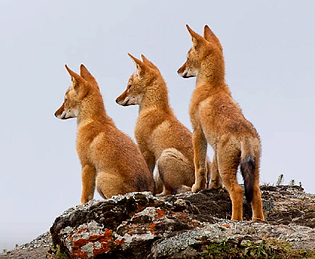 Ethiopian-wolf-pups-wildmoz.com