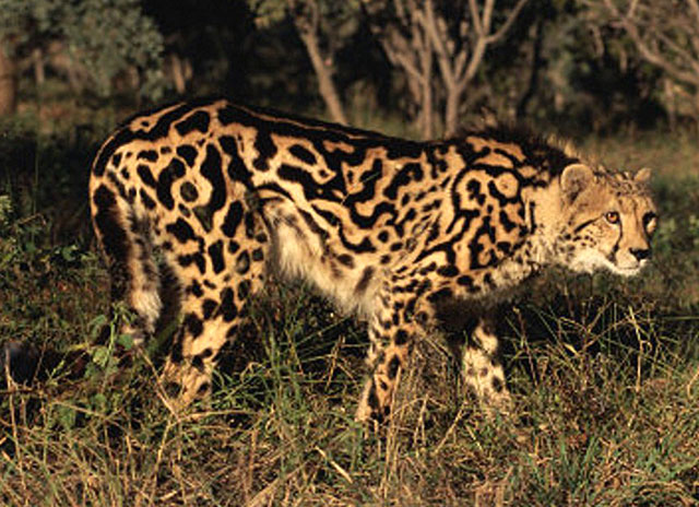 Nsuifisi-king-cheetah-in-the-wild-wildmoz.com