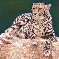 Our Rare King Cheetah