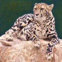 Our Rare King Cheetah
