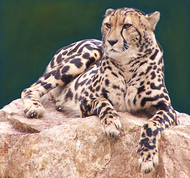 King-cheetah-lying-down-wildmoz.com