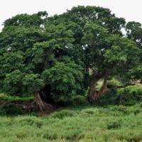 African Queen Tree