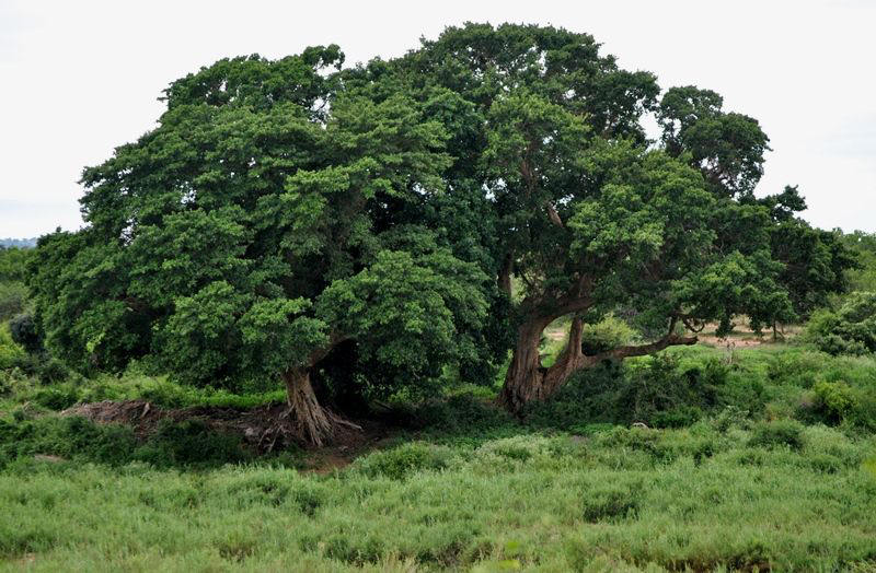 African-queen-tree-sycamore-CariMostert