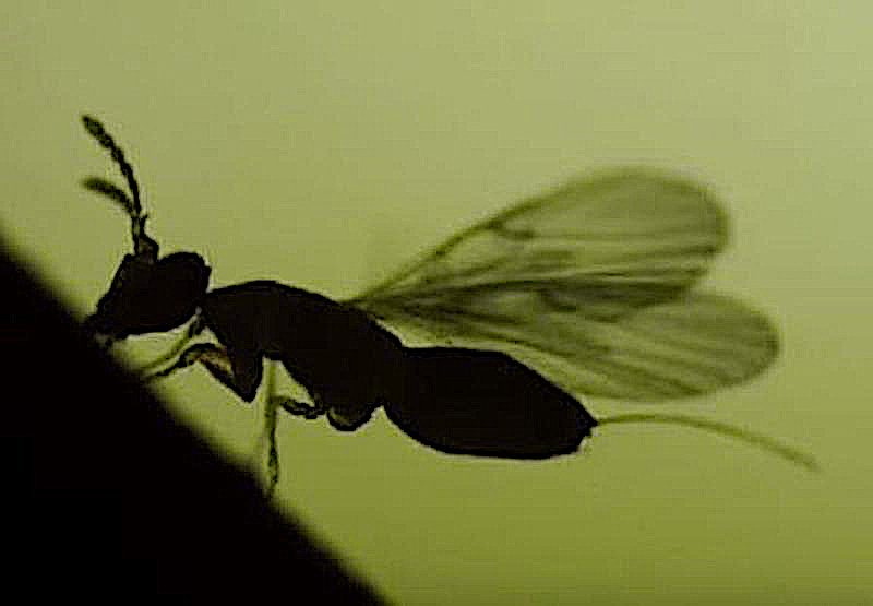 Fig-Wasp-silhouette-CariMostert