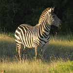 Tales of a Lonely Zebra