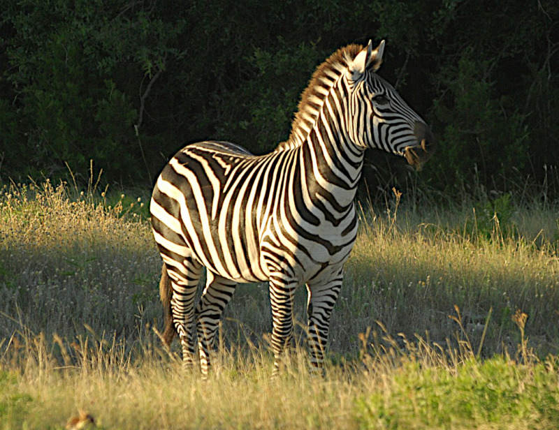 Zachary-the-zebra-Wildmoz.com